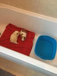 Bathing-3 Transfer the guinea pigs_edited-1.jpg