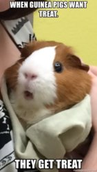 when-guinea-pigs-want-treat-they-get-treat.jpg