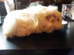 My Guinea Pig Has Early Stages Of Bumblefoot? | The Guinea