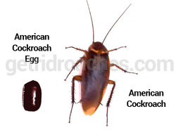 american-cockroach-egg.jpg