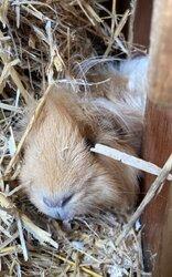 male-guinea-pig-5fa28fa9ceb92.jpg