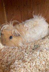 male-guinea-pig-5fa28fa9875d4.jpg