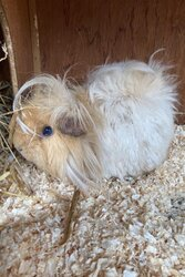male-guinea-pig-5fa28faa0b5b9.jpg