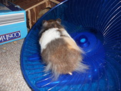 Muffin My Tortoiseshell Hamster | The Guinea Pig Forum