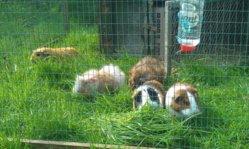 guineas3.jpg