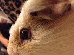I Dont Know Whats Wrong With My Guinea Pigs Eye My Guinea Pig Has Pea Eyes And One Of Them Is All Red At The Bottom