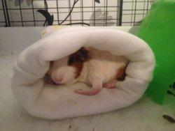 Red Feet | The Guinea Pig Forum