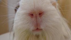 Dry Crusty/flaky Skin | The Guinea Pig Forum