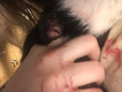 Severe Bumble Foot Advice Needed | The Guinea Pig Forum