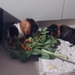 porca comendo.png