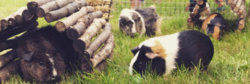 Hogwards Herd (Andromeda - Nymphadora Tonks - Narcissa - Bellatrix) (Cavy Kung-Fu also owner ...jpeg