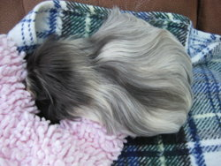 Guide To Cavy Coiffure Part 2 The Guinea Pig Forum