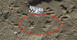 capybara fossilised footprints Miramar Argentina 2018.jpg