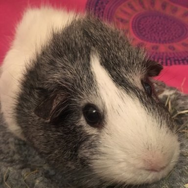 Tilting Head And Dragging Back Legs | The Guinea Pig Forum