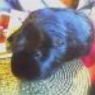 Sebaceous cyst | The Guinea Pig Forum
