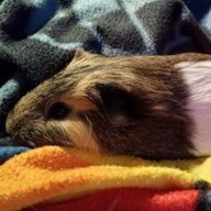 Abscess vs sebaceous cyst? | The Guinea Pig Forum
