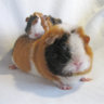 Pippin making crackling noises through nose | The Guinea Pig Forum
